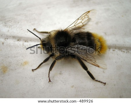 Bee at rest - stock photo