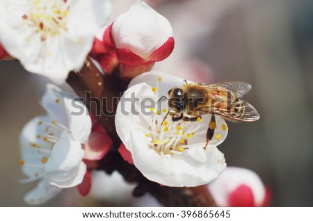 Bee at work on a apricot blossom during spring - stock photo