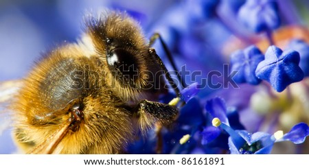 bee colecting pollen from blue flowers - stock photo