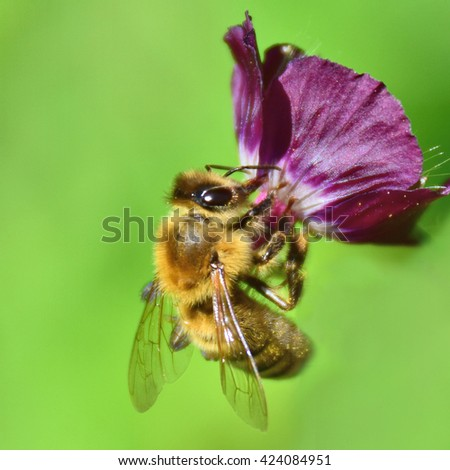 Bee collecting honey Dusky Cranesbills (geranium phaeum - 'lily lovell' flower)