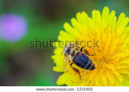 Bee collecting honey from a dandelion flower - stock photo