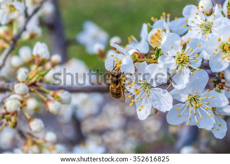 Bee collecting honey on a flowering tree in spring - stock photo