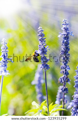 Bee collecting honey on lavendar flower