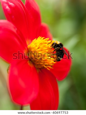 Bee Collecting Nectar - stock photo