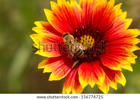 Bee collecting nectar from a flower - stock photo