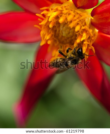 Bee Collecting Nectar on a Beautiful Flower - stock photo