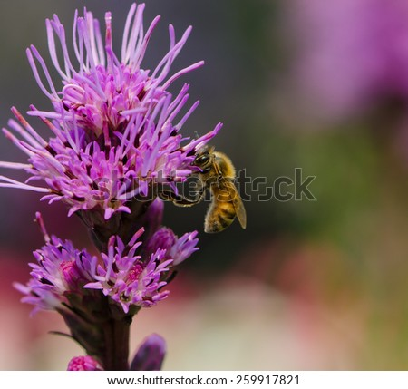 Bee collecting nectar on purple flower with colorful background, close up. - stock photo