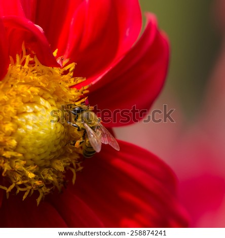 Bee collecting nectar on red dahlia flower, macro. - stock photo