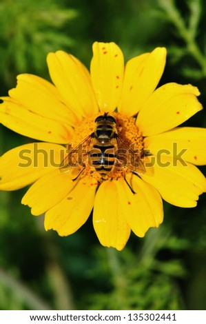 Bee collecting nectar wings covered with pollen grains. Flower pollination process. - stock photo