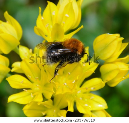 Bee collecting pollen - stock photo