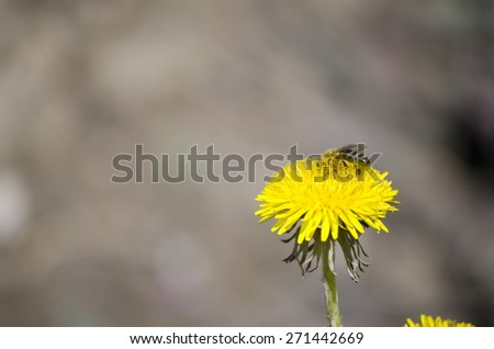Bee collecting pollen from a yellow flower - stock photo
