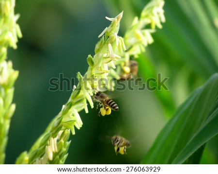 Bee collecting pollen from flower of corn - stock photo
