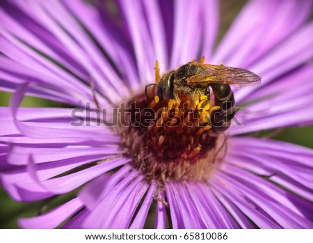 Bee collecting Pollen from Purple Flower