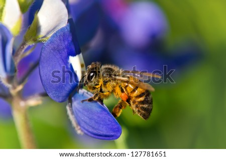 Bee collecting pollen from Texas bluebonnet flowers - stock photo