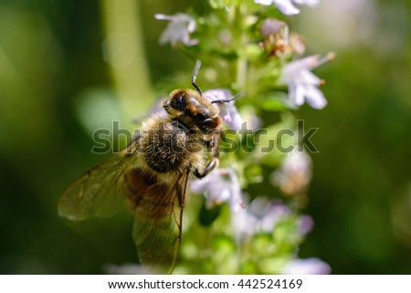 Bee collecting pollen from thyme flowers. macro photography - stock photo