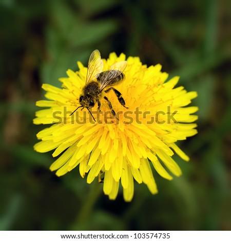 Bee collecting pollen on yellow dandelion - stock photo
