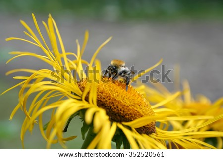 Bee collecting pollen on yellow flower in nature