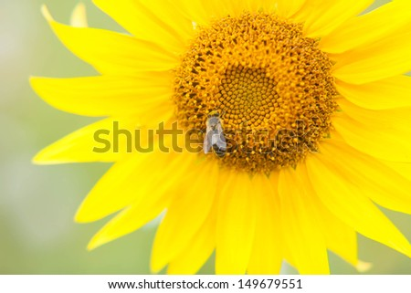 bee collects nectar from a sunflower  in summer day - stock photo