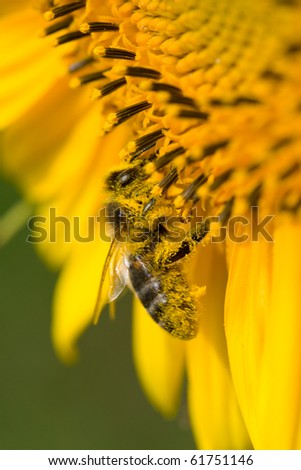 bee collects nectar on sunflower - stock photo