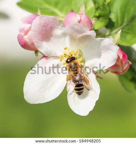 Bee collects pollen and nectar on apple tree spring flower blossoms - stock photo