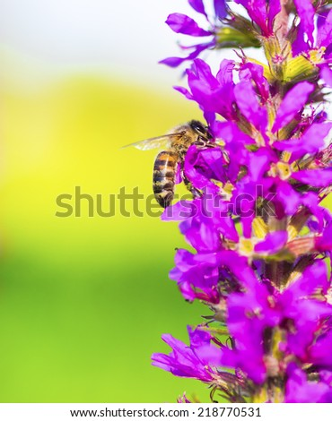 Bee collects pollen and nectar on spring wild purple flower blossoms - stock photo