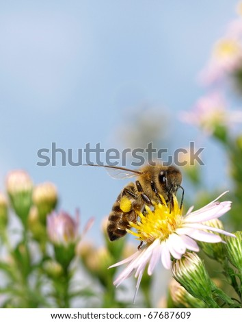 Bee collects pollen and nectar on white flower blossoms Lawn daisy, Bellis perennis - stock photo