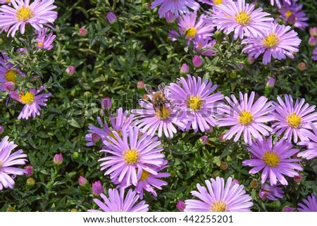 Bee drinking nectar on a light purple flowers. Insects pollinate. - stock photo