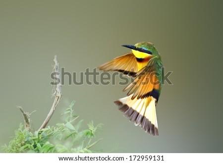 Bee eater in flight, - stock photo