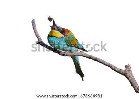 Bee eater on isolated background