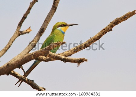 Bee-eater, Swallow Tailed - Wild Bird Background from Africa - Wonderful colors of the wilds and Mother Nature.  Greens forever. - stock photo