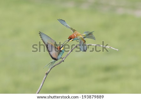 bee eaters behavior and green background - stock photo