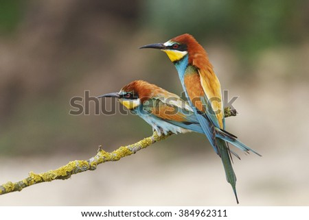 Bee eaters sharing a bee, sitting on a branch - stock photo