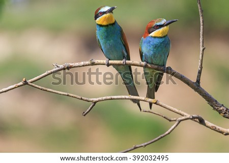 bee eaters,two colored birds among thorns, paradise bird - stock photo