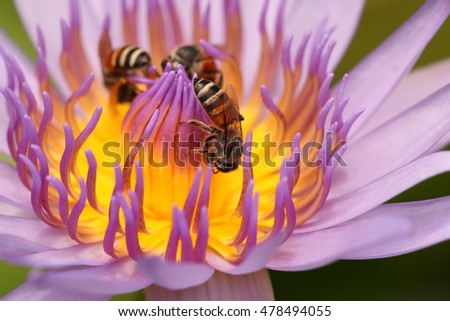 Bee Eating Syrup in the Lotus flower