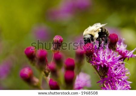 Bee feeding on a flower - stock photo