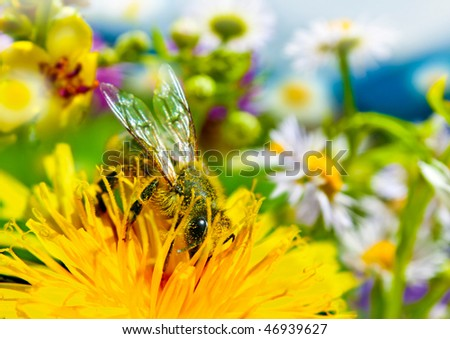 bee full with yellow farina is working on flower a meadow - stock photo