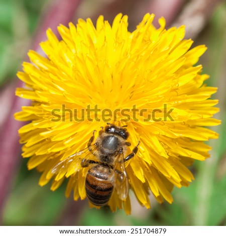 Bee gather honey at dandelion - stock photo