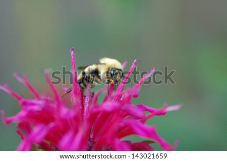 Bee Gathering Nectar from Beesbalm Flower - stock photo
