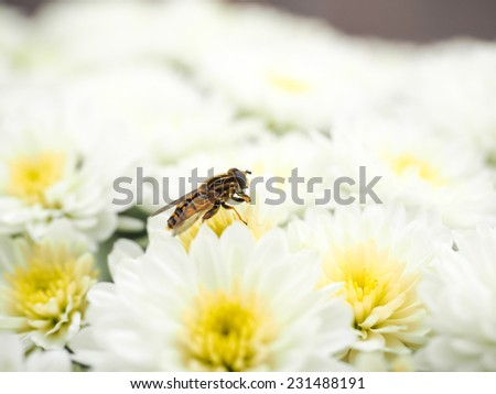 Bee gathering nectar while pollinating a pile of white flowers with yellow center - stock photo