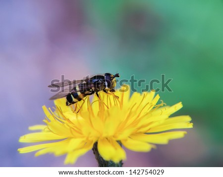 Bee gathering pollen from a dandelion flower, towards violet and green colors