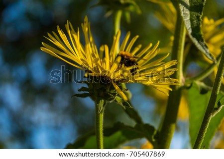 Bee gathering the pollen on the blossoming Inula in organic garden