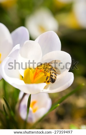 Bee harvesting honey from flowers closeup - stock photo