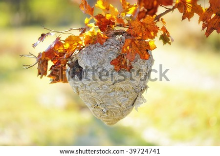 bee hive hanging from a tree branch with beautiful fall leaves
