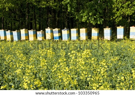 Bee hives among a blooming rapeseed field