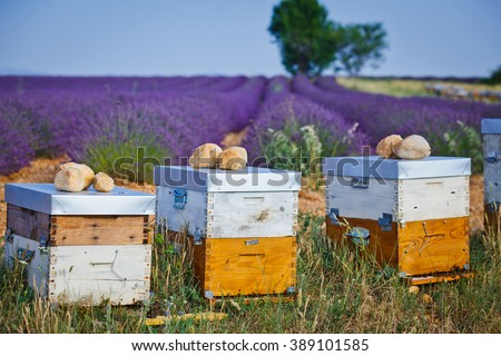 Bee hives on lavender fields - stock photo