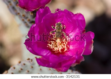 Bee in a cactus flower covered with pollen - stock photo