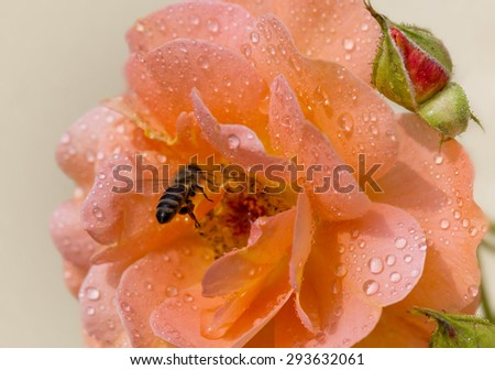 Bee in a rose after summer rain - stock photo