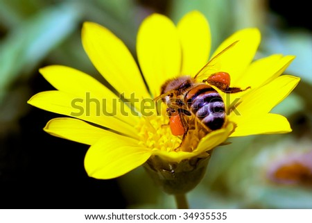 Bee in a yellow flower - stock photo