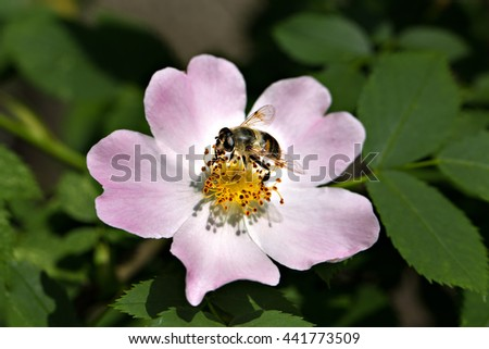 Bee in dog-rose flower collecting pollen . Macro  - stock photo