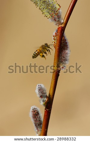 bee in flight to pussy willow - stock photo
